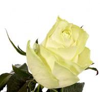 ATHENA Роза кремовая