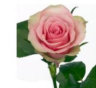 BELLE ROSE Роза зелено-розовая