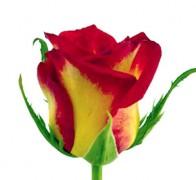 CATCH Роза желто-красная