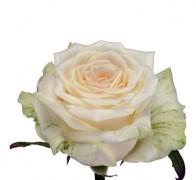 DOLOMITI Роза белая