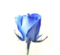 DYED blue Роза голубая