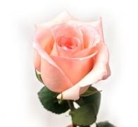 ENGAGEMENT Роза розовая