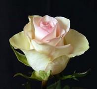 FEDORA Роза бело-розовая