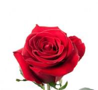 FOREVER Роза красная
