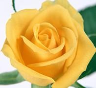 YELLOW Роза желтая