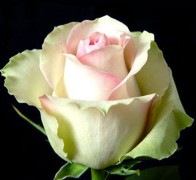 LA BELLE Роза зелено-розовая