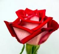 LUXOR Роза бело-красная