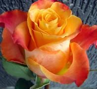 MARIYO! Роза оранжевая