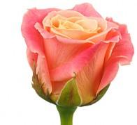 MISS PIGGY Роза розово-желтая