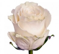 MONDIAL Роза белая