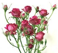 PEPITA Роза малиновая