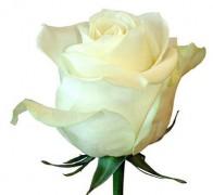 PROUD Роза белая