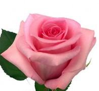 REVIVAL Роза розовая