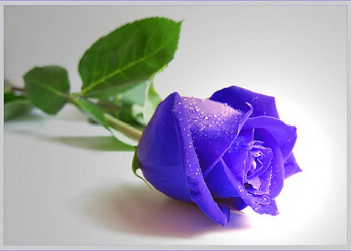 Роза цвета неба
