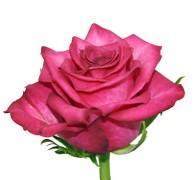 SANAA+ Роза малиновая