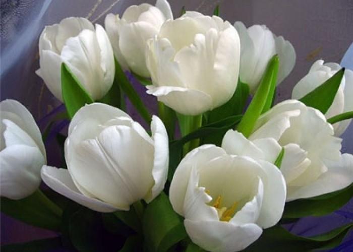 О тюльпанах