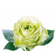 WIMBLEDON Роза зеленоватая